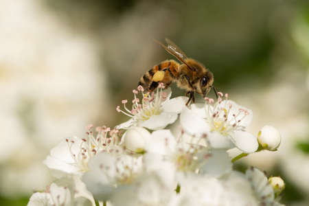 Honey bee collecting pollen on Pyracantha flowers