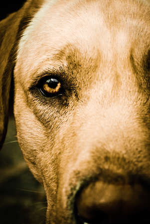 Close up on brown eye of a dog Stock Photo - 7586196