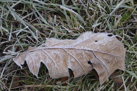 A leaf of a tree lies on the ground covered with ice rain. In the winter Park, the oak leaf is covered with ice crystals.