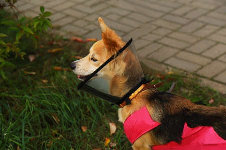 A pet in a plastic cone looks away, on the street. The view from the side.