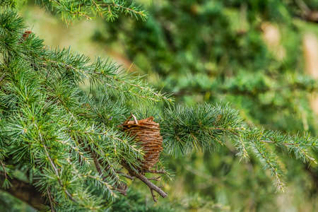 Detail of pine cone between pine branches