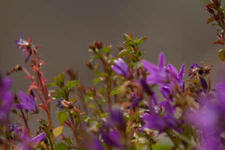 Perennial campanula