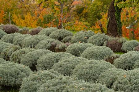 Lavender fields in autumn Stockfoto