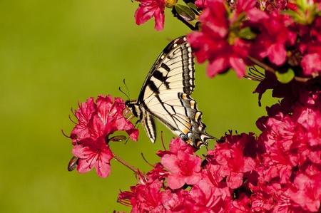 Pale Swallowtail Butterfly on Azaleas