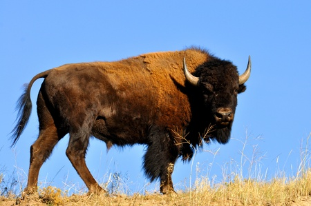 American Bison bull posing. Stock Photo
