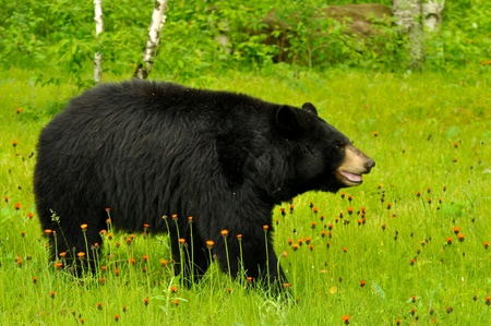 Black bear in field of flowers (captive)