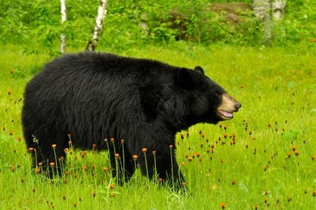 black bear: Orso nero in campo di fiori (in cattivit�)