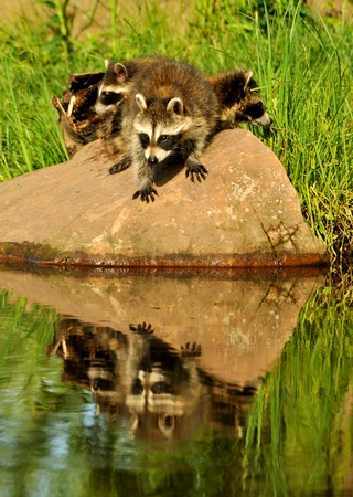 Raccoons with water reflections