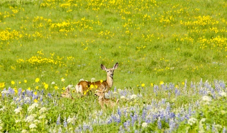 Mother mule deer with twin fawns Stock Photo