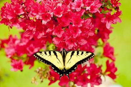 azaleas: Eastern Tiger Swallowtail Butterfly on Azaleas