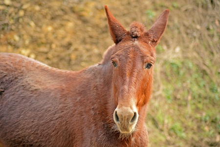 A friendly mule is wanting food  photo
