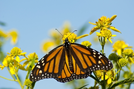 Monarch Butterfly posing on yellow flowers  Stock Photo
