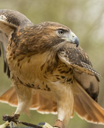 halcón: Halcón de cola roja extendiendo las alas