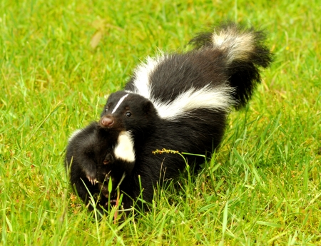 Mother Skunk carries her baby.