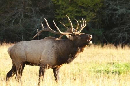 During the rutting season an elk s bugle is heard