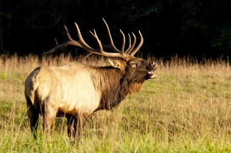 elk horn: Un toro alce echa hacia atr�s la cabeza y suena un clar�n Foto de archivo