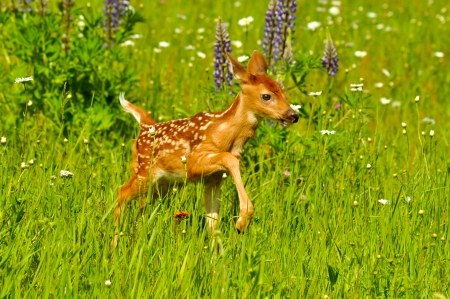 white tail deer: White tailed deer fawn with spots in a field of wildflowers  Stock Photo
