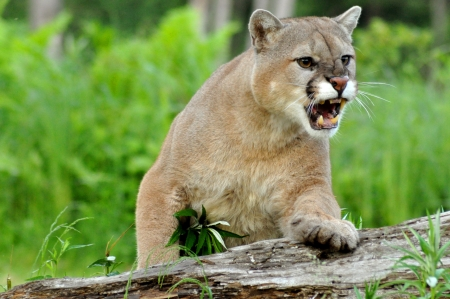 Mountain Lion propped on a log snarling  Stock Photo