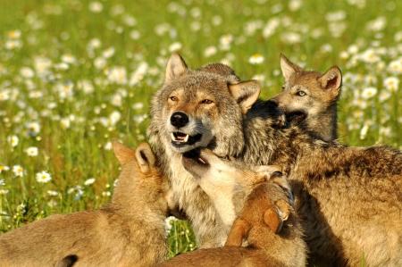 Un lobo alfa está rodeado de cachorros de lobo