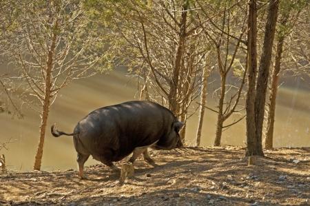 squeal: Un maiale nero solitario passeggia lungo un laghetto