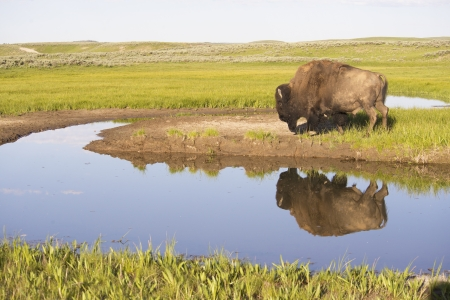 A Bison stands near a lake checking out his reflection in the water  Stock Photo
