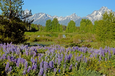 snow capped: Purple Lupine cover a valley beneath snow capped mountains