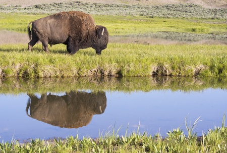 Water reflections of a lone Bison