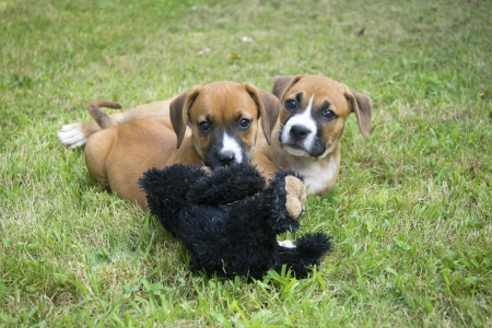 Two Boxer pups play with their toy