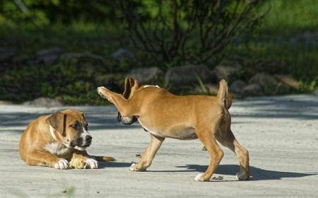 playmates: Dos cachorros de Boxer son compa�eros de juego Foto de archivo