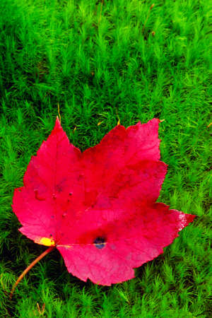 A brilliant red leaf lies on green moss