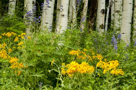 Wildflowers are blooming in the Colorado mountains  photo