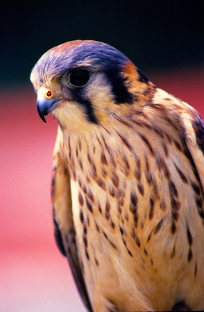 An American Kestrel sitting at attention