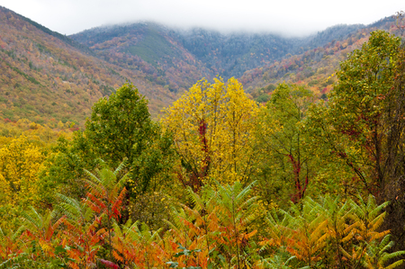great smokies: Fall colors in the Great Smoky Mountains in front of snow capped mountains