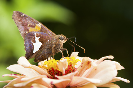 A Silver-spotted Skipper Butterfly sits on Zinnias