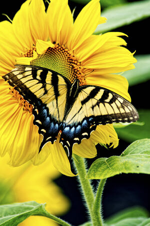 An Eastern Tiger Swallowtail Butterfly works a Sunflower in bloom