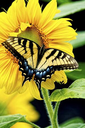 An Eastern Tiger Swallowtail Butterfly works a Sunflower in bloom Reklamní fotografie - 23146083