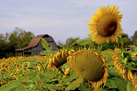 A field of yellow sunflowers surround an old barn