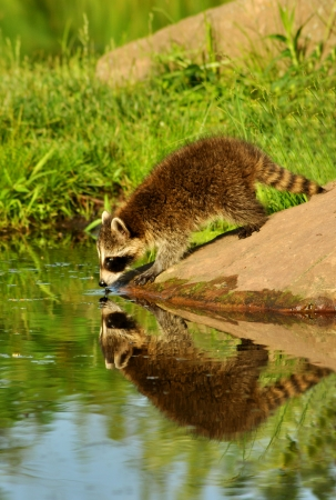 Raccoon drinking from a clear lake showing water reflection  photo