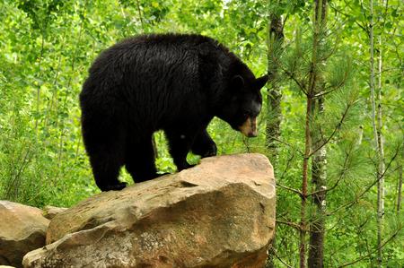 A Large Black Bear poses on a rock
