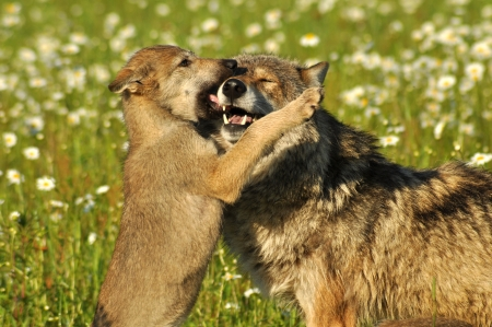 An alpha male Gray Wolf and his pup Stock Photo