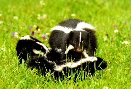 A mother skunk carrying her kits