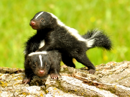 Two baby skunks at play