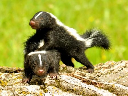 stinktier: Zwei Baby-Stinktiere im Spiel