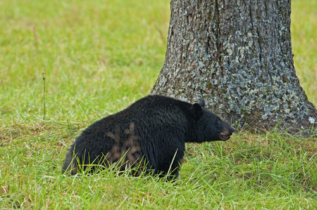 treed: A large Black Bear eats walnuts in Cades Cove