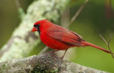 A male Cardinal looks around before flying in to the feeder