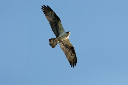 An Osprey flies overhead looking down  Stock Photo
