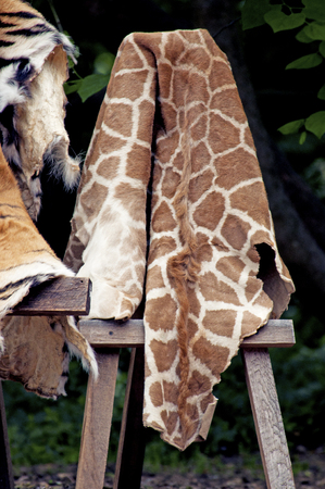 pelt: Animal hides on display for educational purposes  Stock Photo