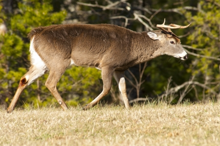 White tailed deer with ears layed back and horns pointed ready for battle  photo
