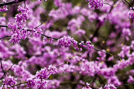 redbud: Close up of redbud twigs in bloom  Stock Photo