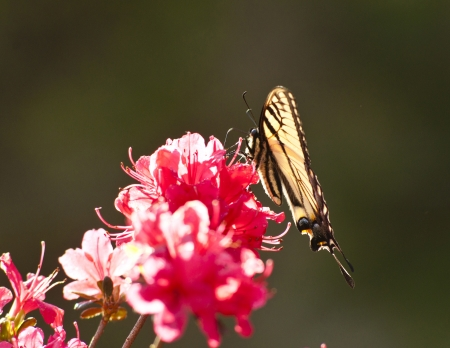 Eastern Tiger Swallowtail perched on pink Azalea blooms  photo